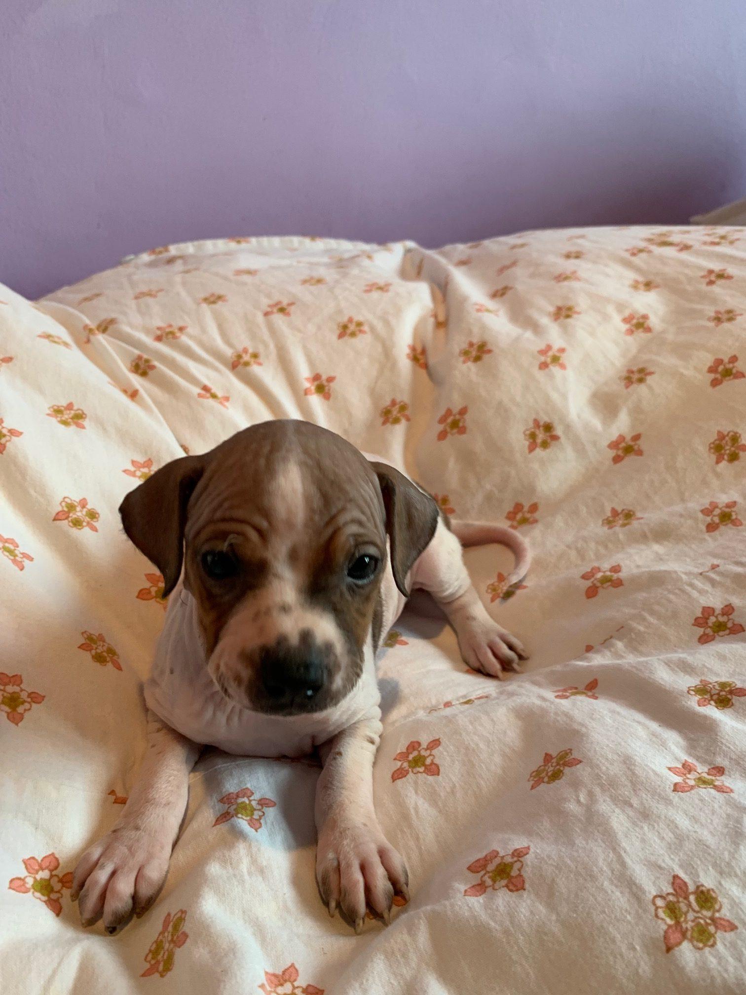 Puppies for Sale | Americký bezsrstý teríer